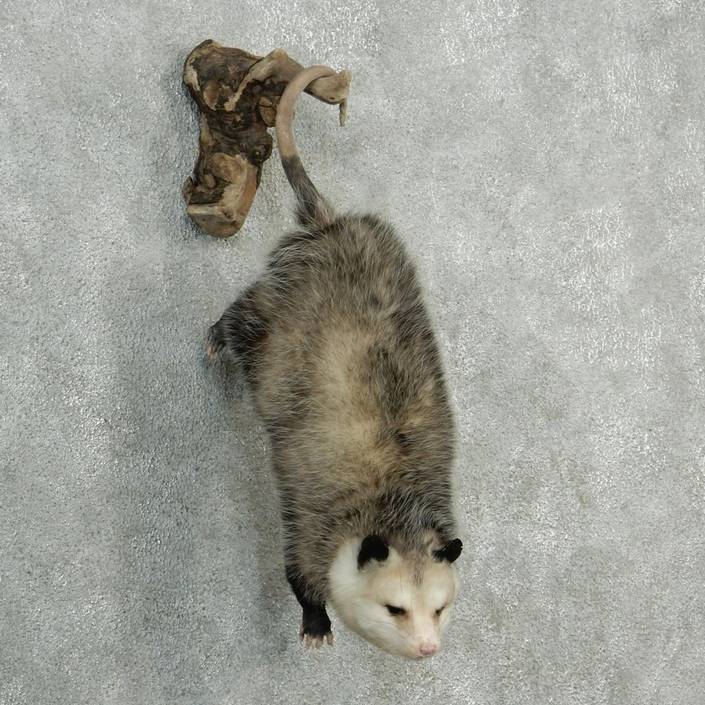 Opossum Hanging Taxidermy Mount #12756 - The Taxidermy Store