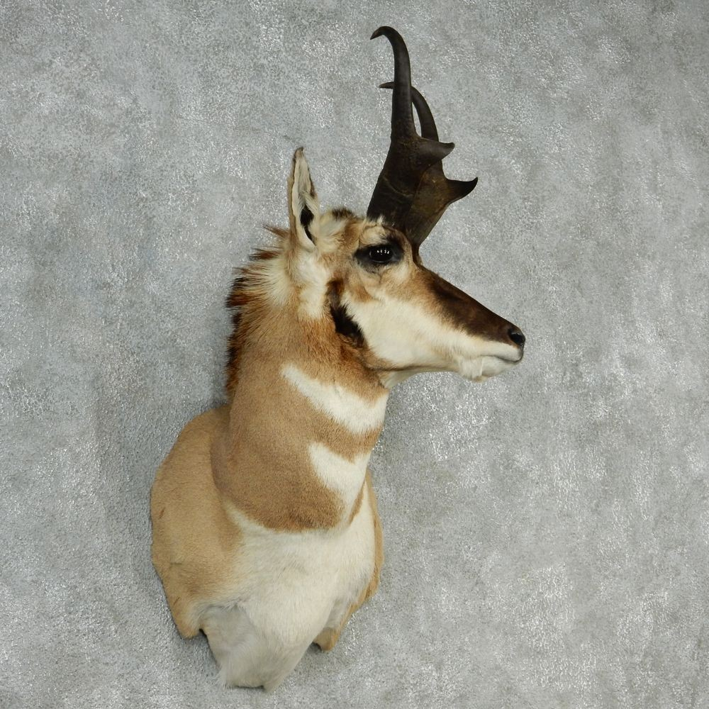Pronghorn Antelope Mount For Sale 12766 The Taxidermy Store