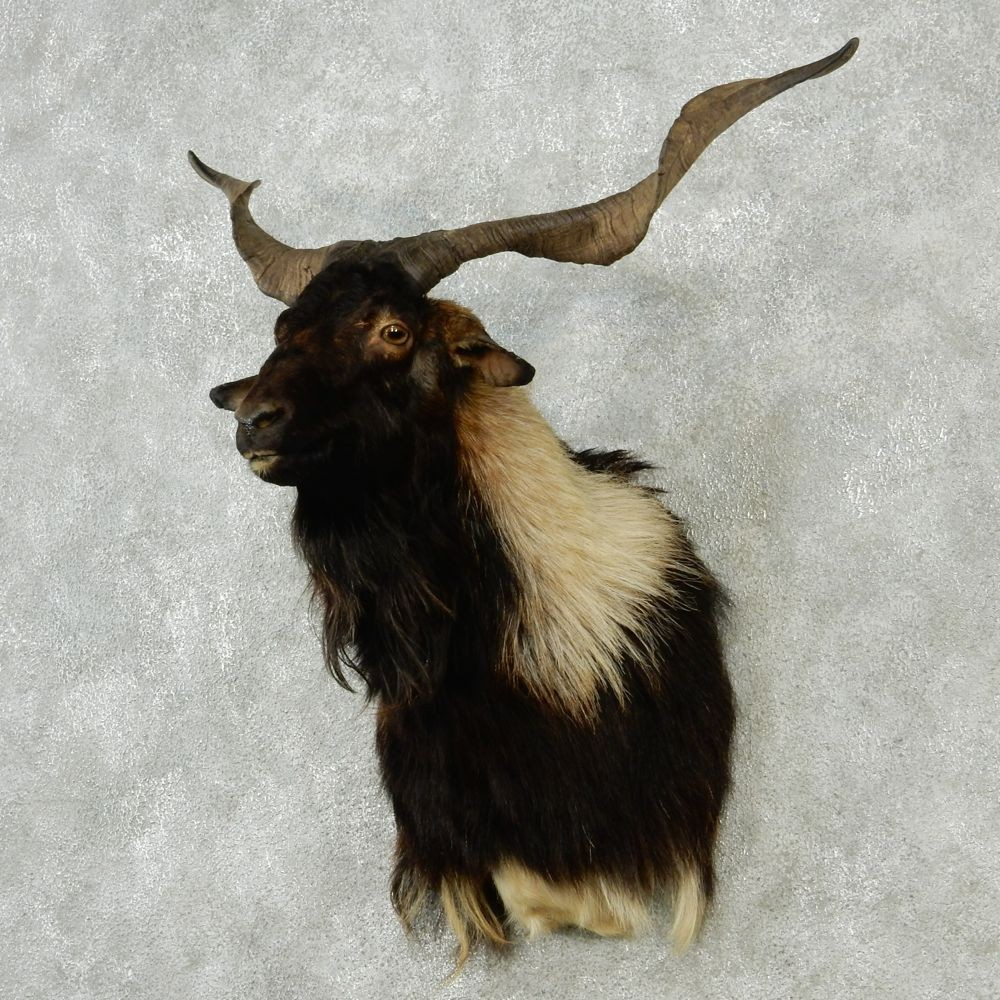 Black Catalina Goat Mount #12847 - The Taxidermy Store