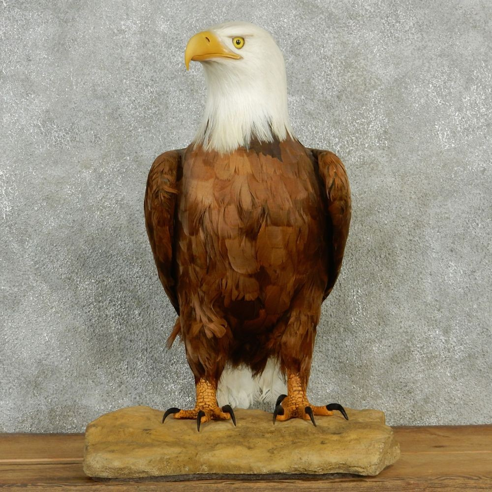 Reproduction Bald Eagle Mount 12943 The Taxidermy Store