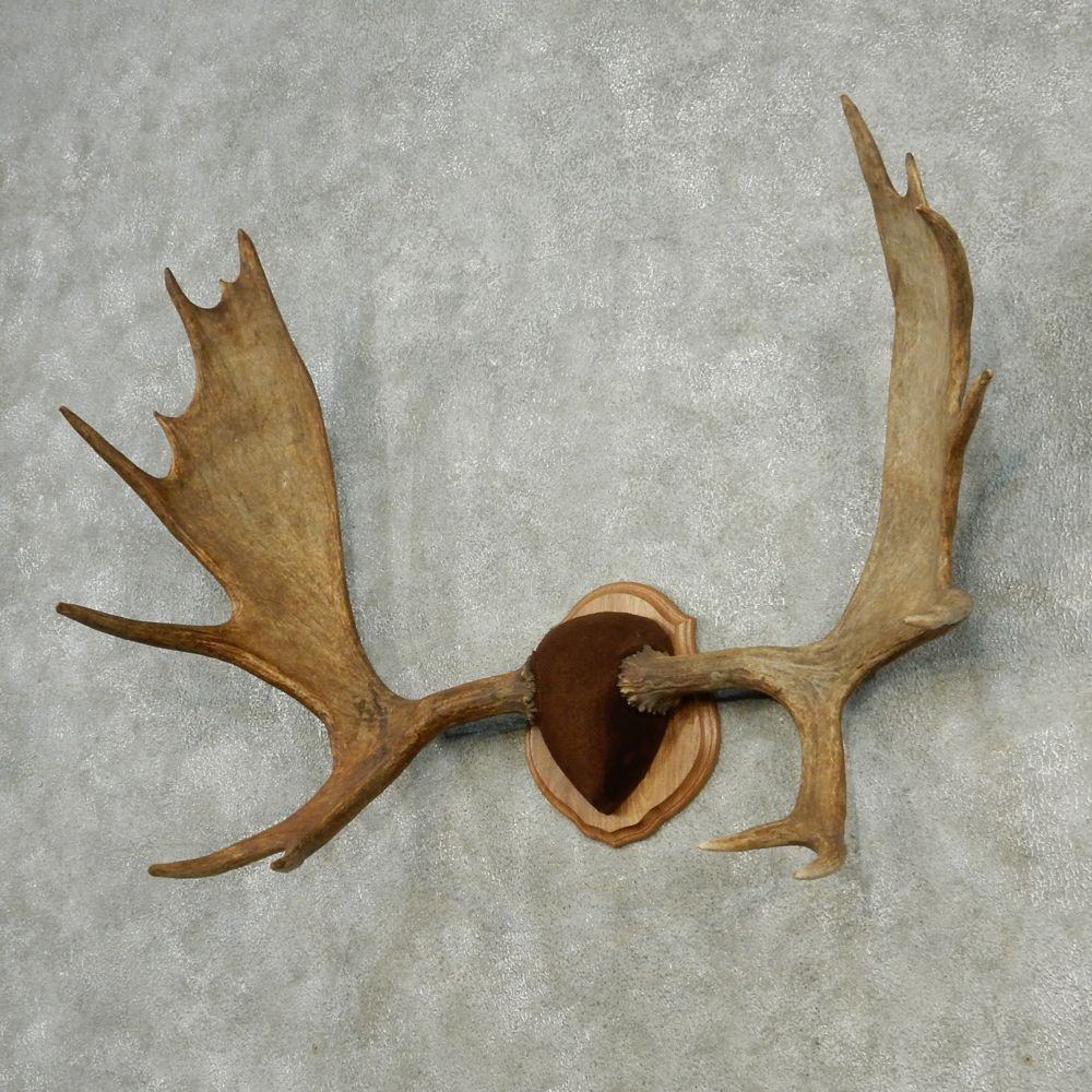 Moose Antlers For Sale #13005 - The Taxidermy Store