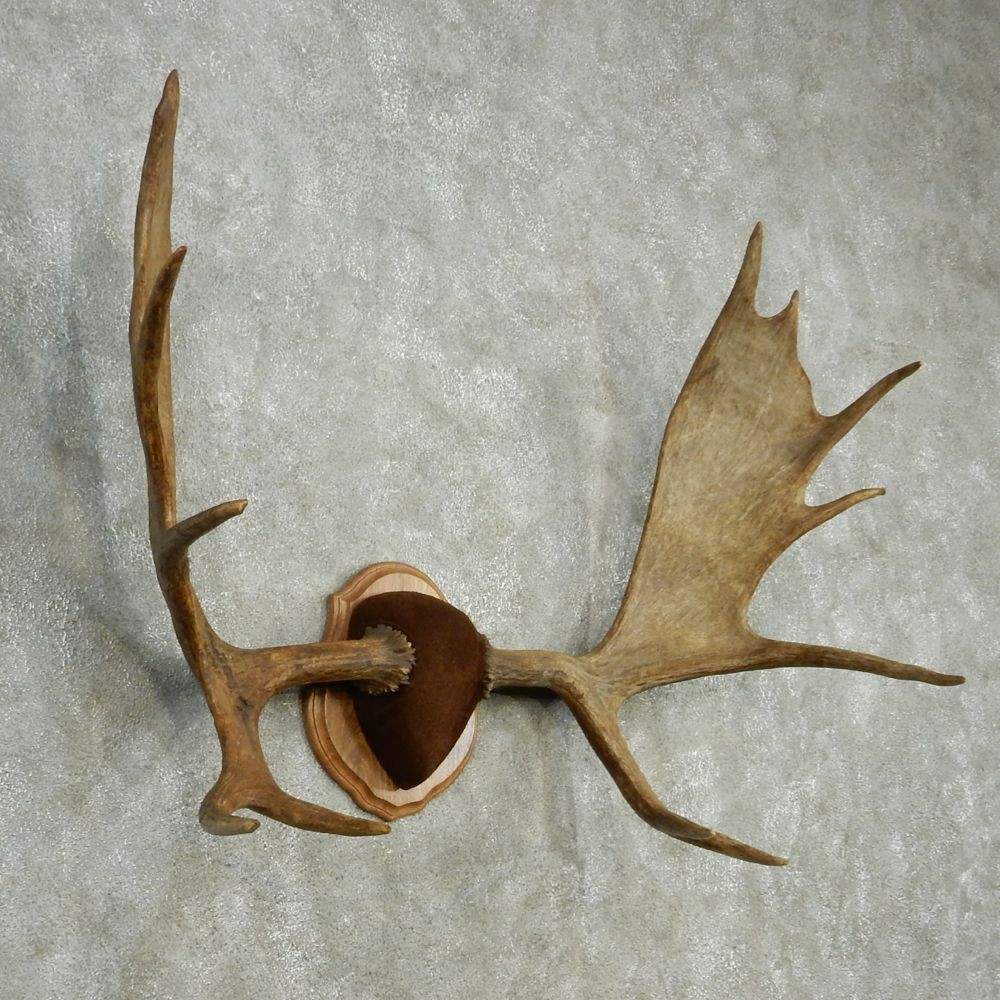 moose antlers for sale 13005 the taxidermy store