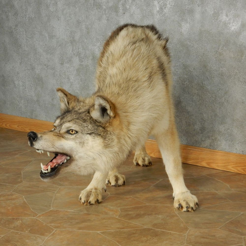 Gray Wolf Taxidermy Mount 13019 The Taxidermy Store