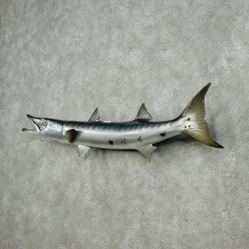 barracuda replica fish mount 13047 the taxidermy store