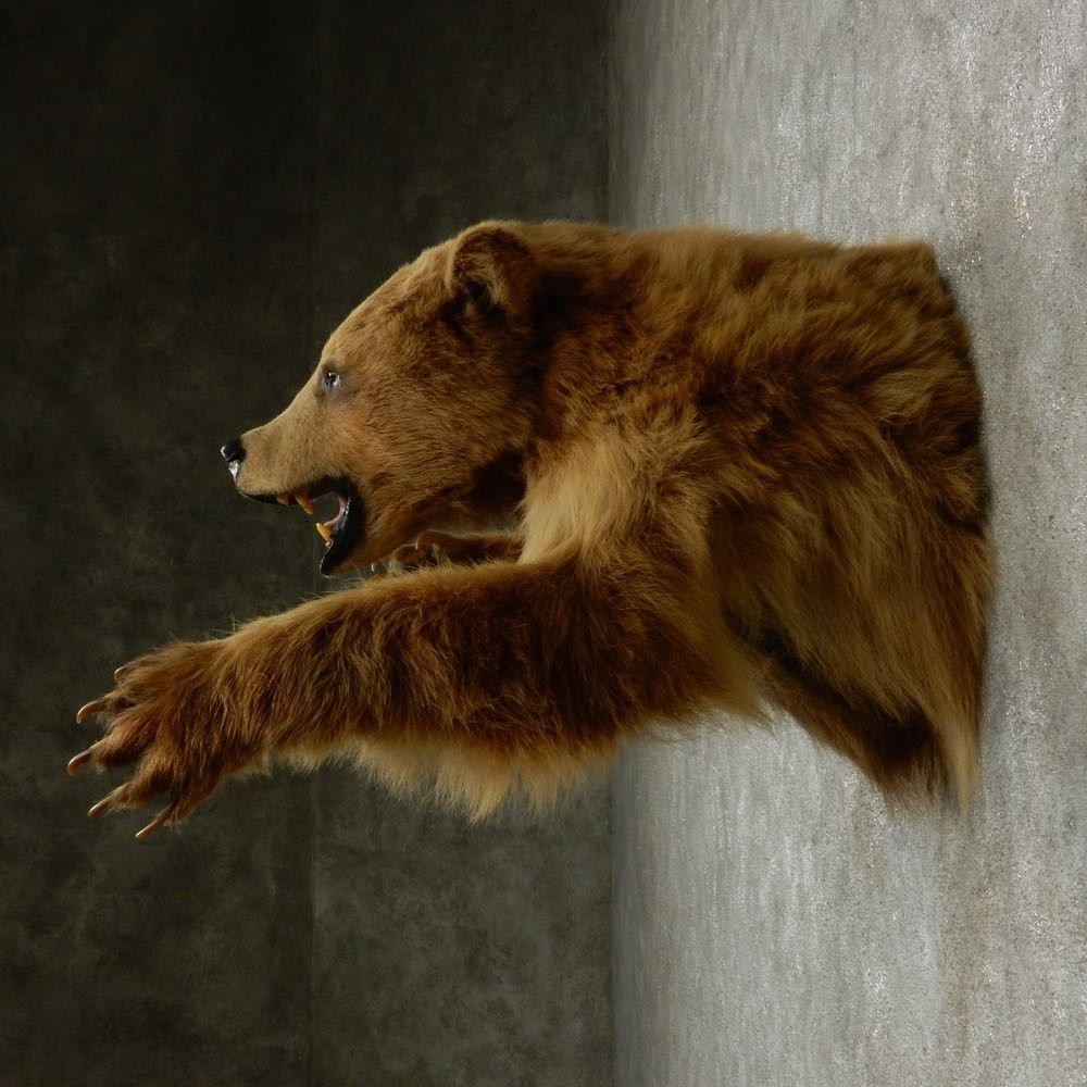 Cinnamon Bear Mount For Sale 13141 The Taxidermy Store