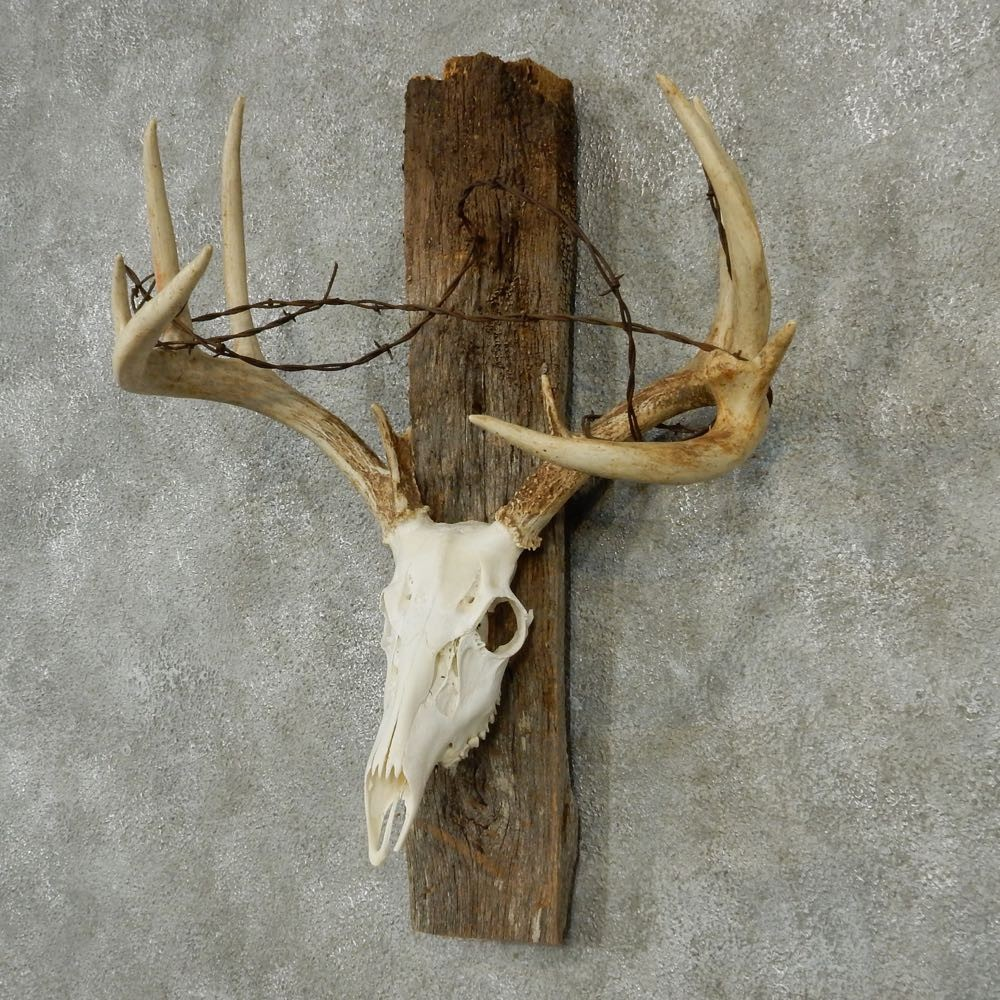 Whitetail Skull Amp Antlers For Sale 13210 The Taxidermy