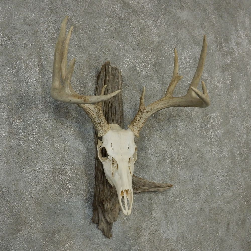 Whitetail Skull Amp Antlers For Sale 13211 The Taxidermy