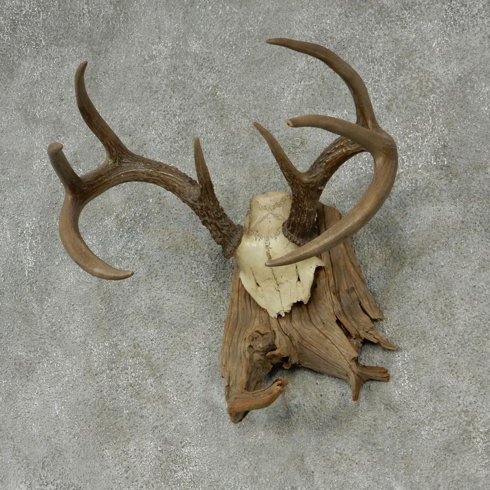 Whitetail Skull Cap & Antlers For Sale #13253 The