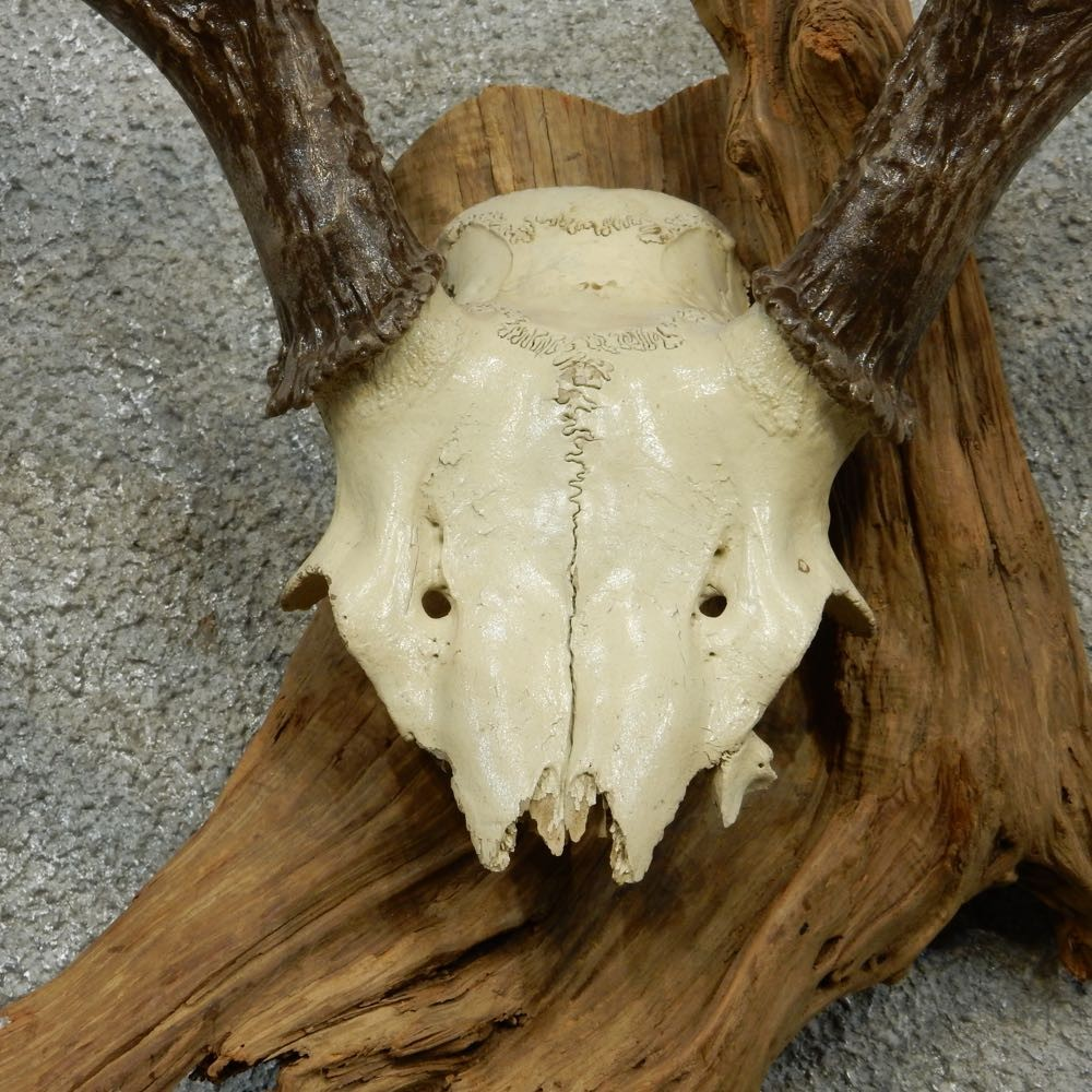 Whitetail Skull Cap Amp Antlers For Sale 13263 The