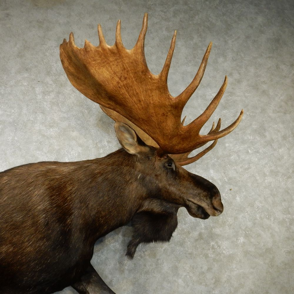 how to draw a canadian moose