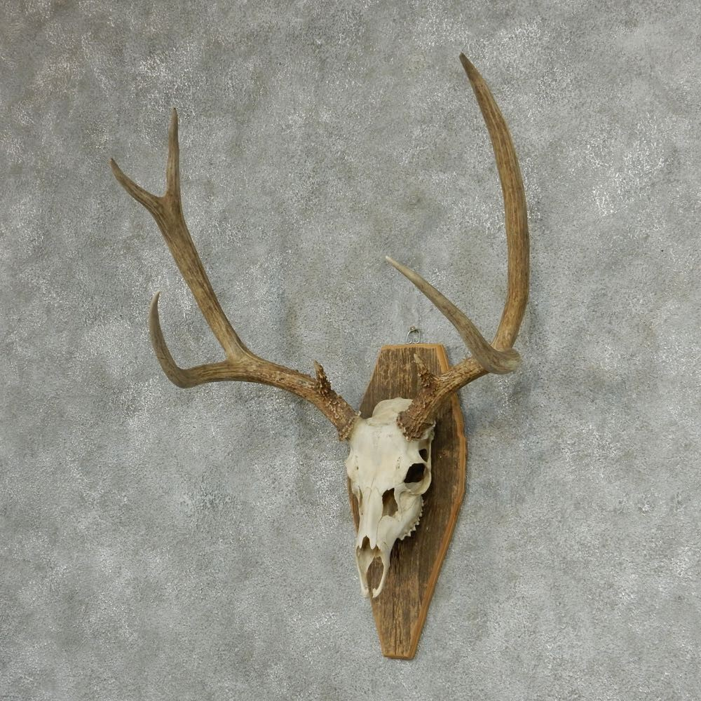 Hunters Ridge Scorecard: Whitetail Skull & Antlers European Mount For Sale #13322