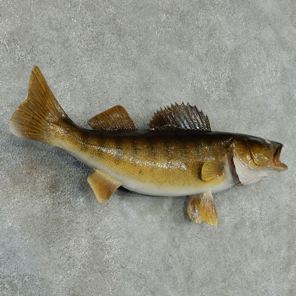 Walleye taxidermy fish mount for sale 13405 the for Fish mounts for sale