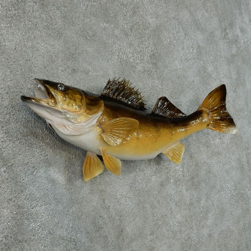 Walleye taxidermy fish mount 13410 the taxidermy store for Fish mounts for sale