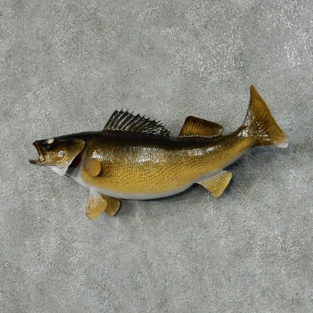Walleye taxidermy fish mount 13423 the taxidermy store for Fish mounts for sale