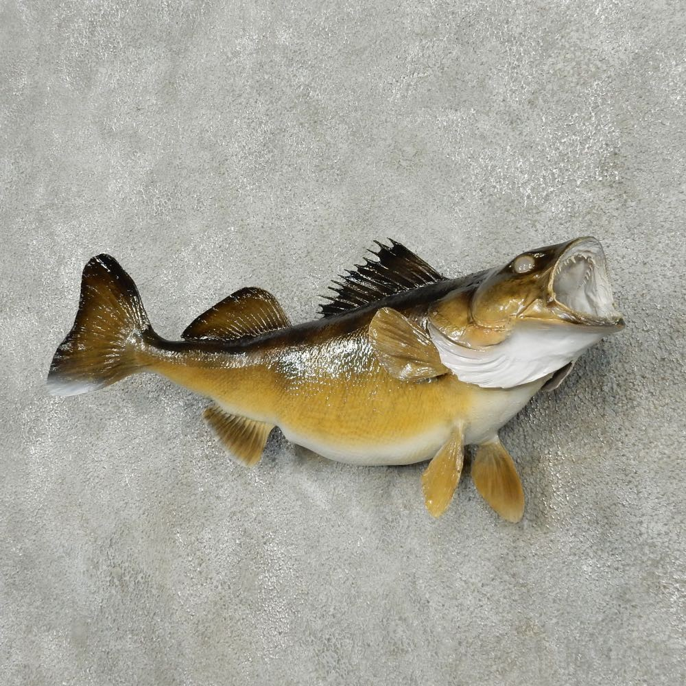 Walleye taxidermy fish mount 13509 the taxidermy store for How to taxidermy a fish