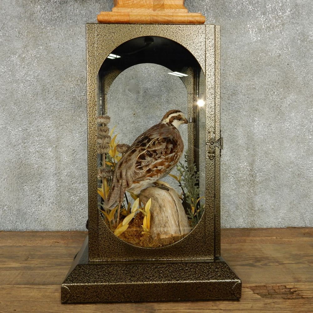 Quail Lamp Life-Size Taxidermy Bird Mount #13517 - The Taxidermy Store