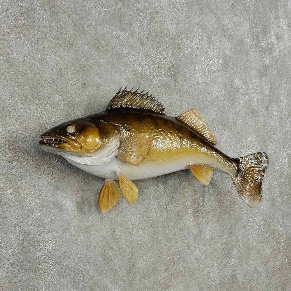 Walleye taxidermy fish mount 13536 the taxidermy store for Fish mounts for sale
