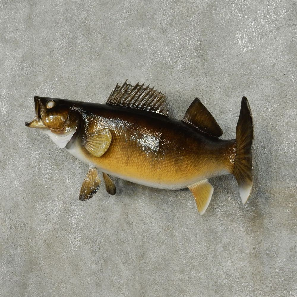 Walleye taxidermy fish mount 13553 the taxidermy store for How to taxidermy a fish