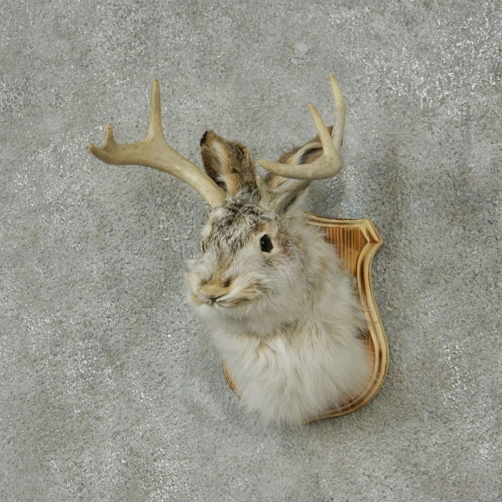 Jackalope Rabbit Shoulder Mount For Sale 13669 The