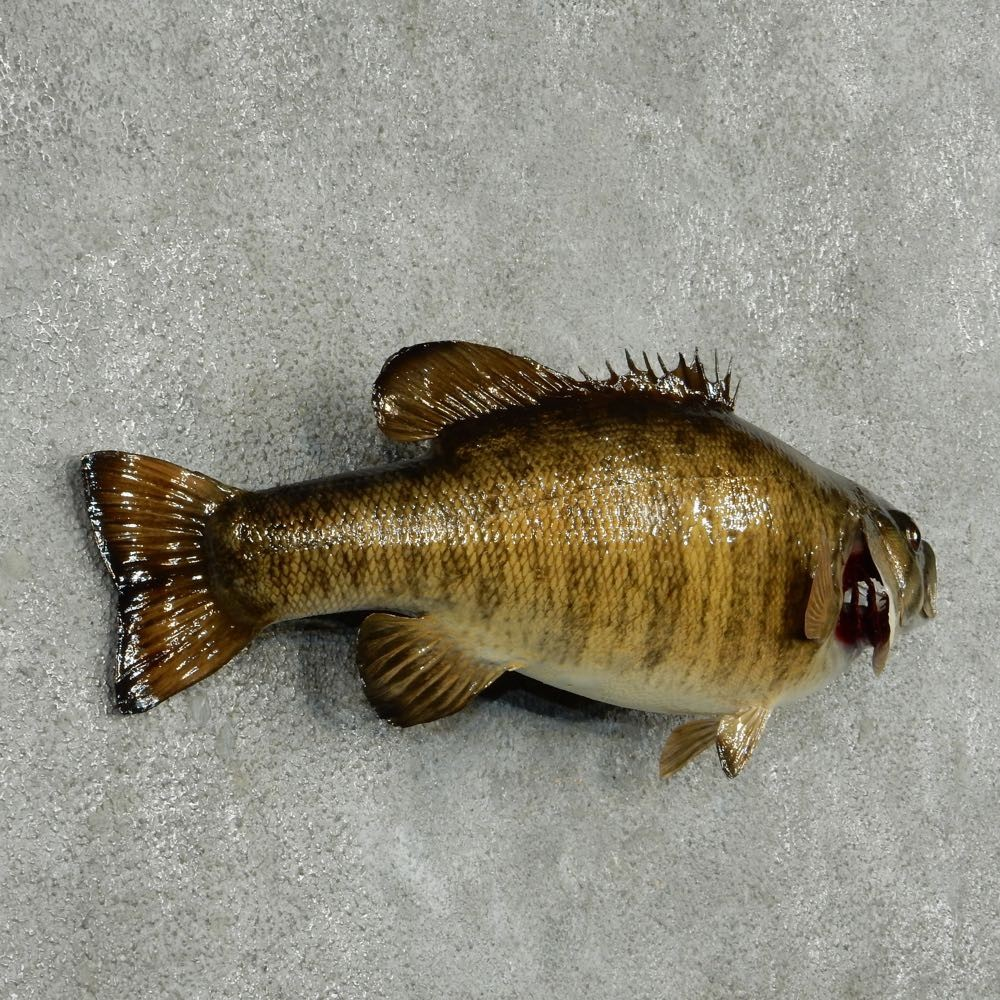 Smallmouth bass fish mount for sale 13870 the taxidermy for How to taxidermy a fish