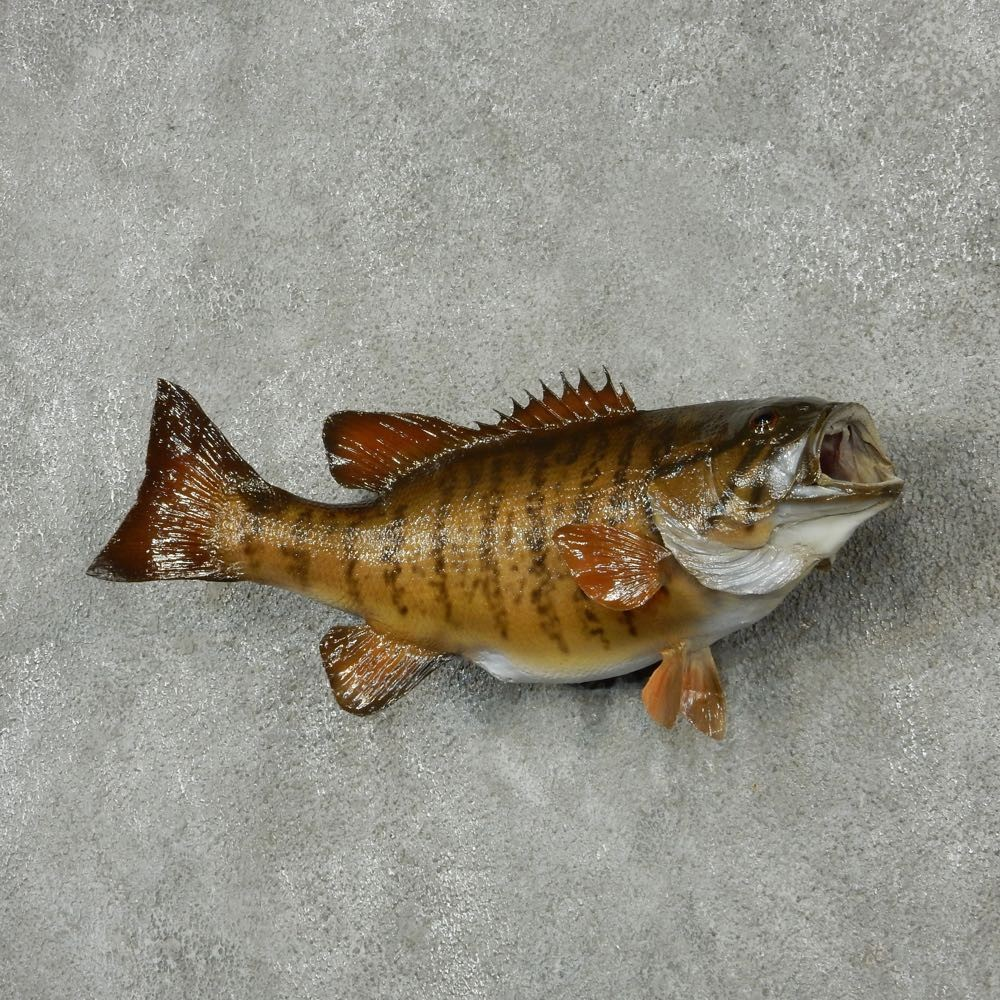 Smallmouth bass fish mount for sale 13871 the taxidermy for Bass fish for sale