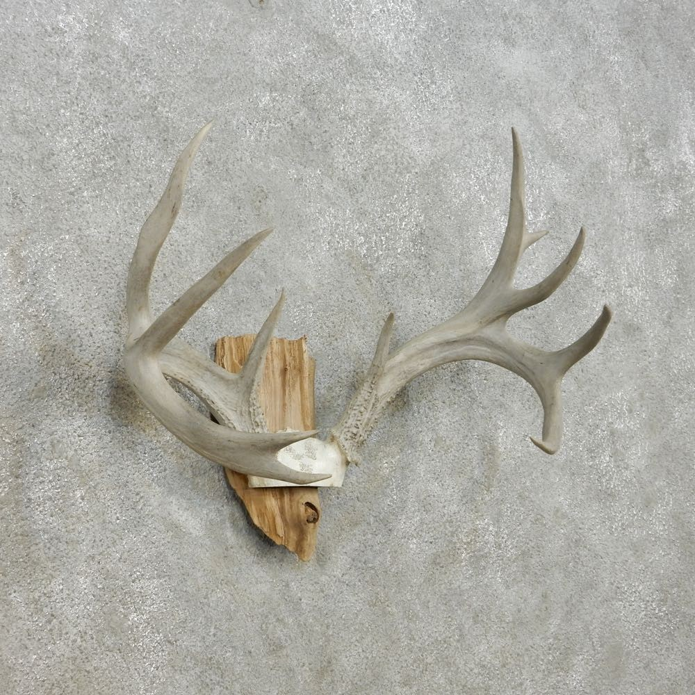 Whitetail deer skull antler taxidermy mount for sale 13942 for sale