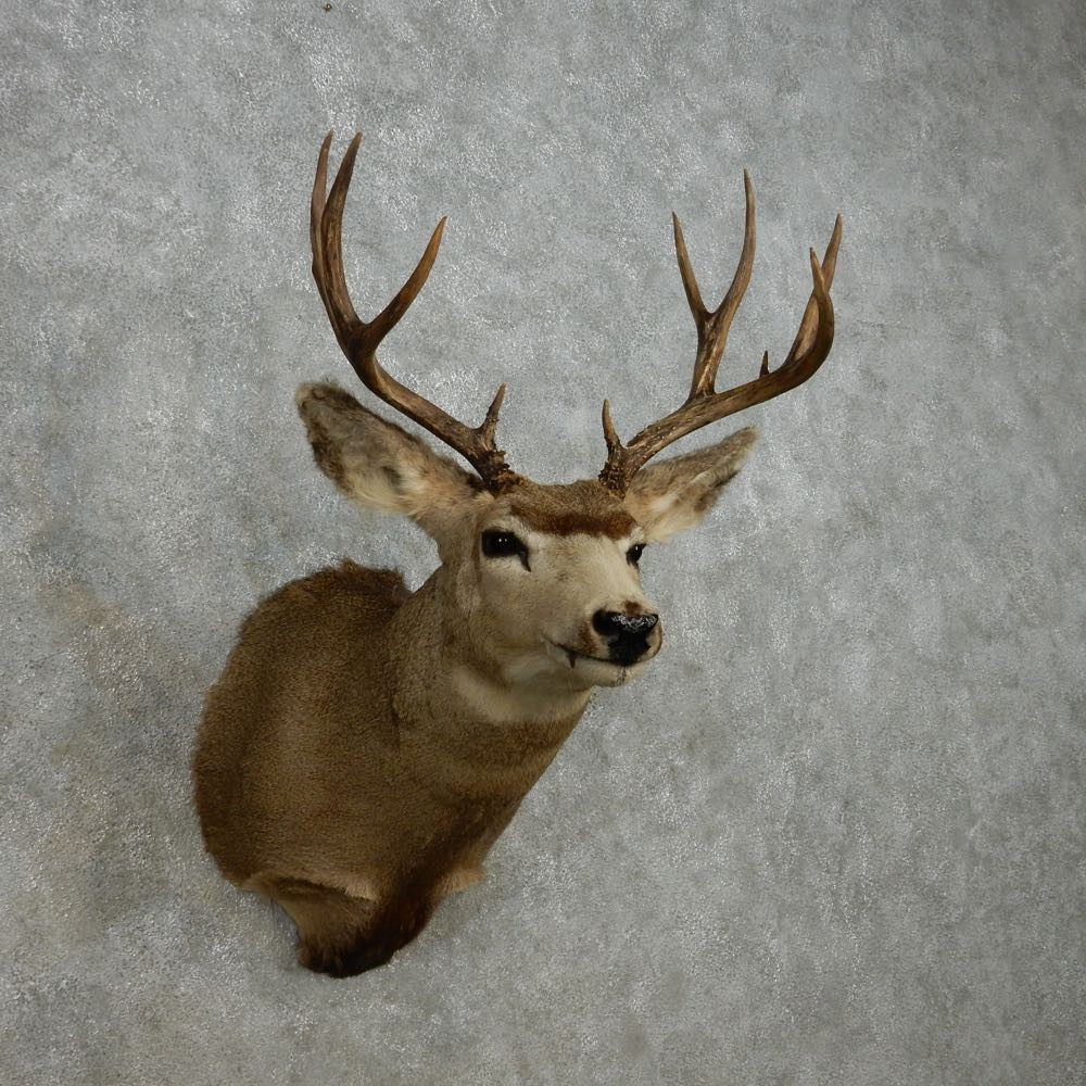 Mule Deer Taxidermy Shoulder Mount For Sale 14070 The