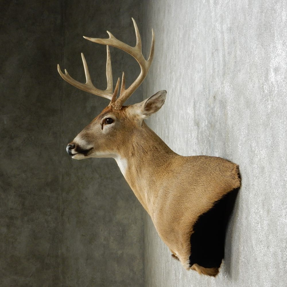 Whitetail Deer Wall Pedestal Mount For Sale 14085 The