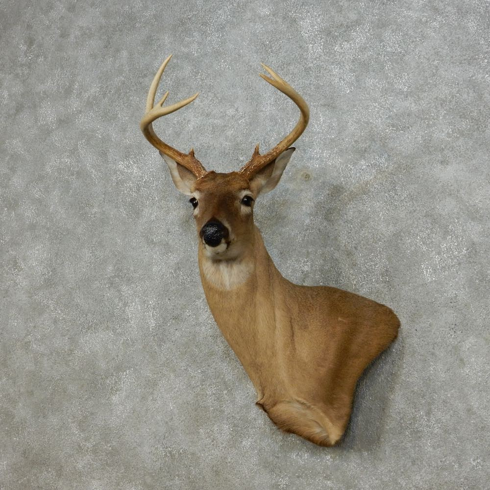 the taxidermy wall store at blackbuck sale pedestal for india mount