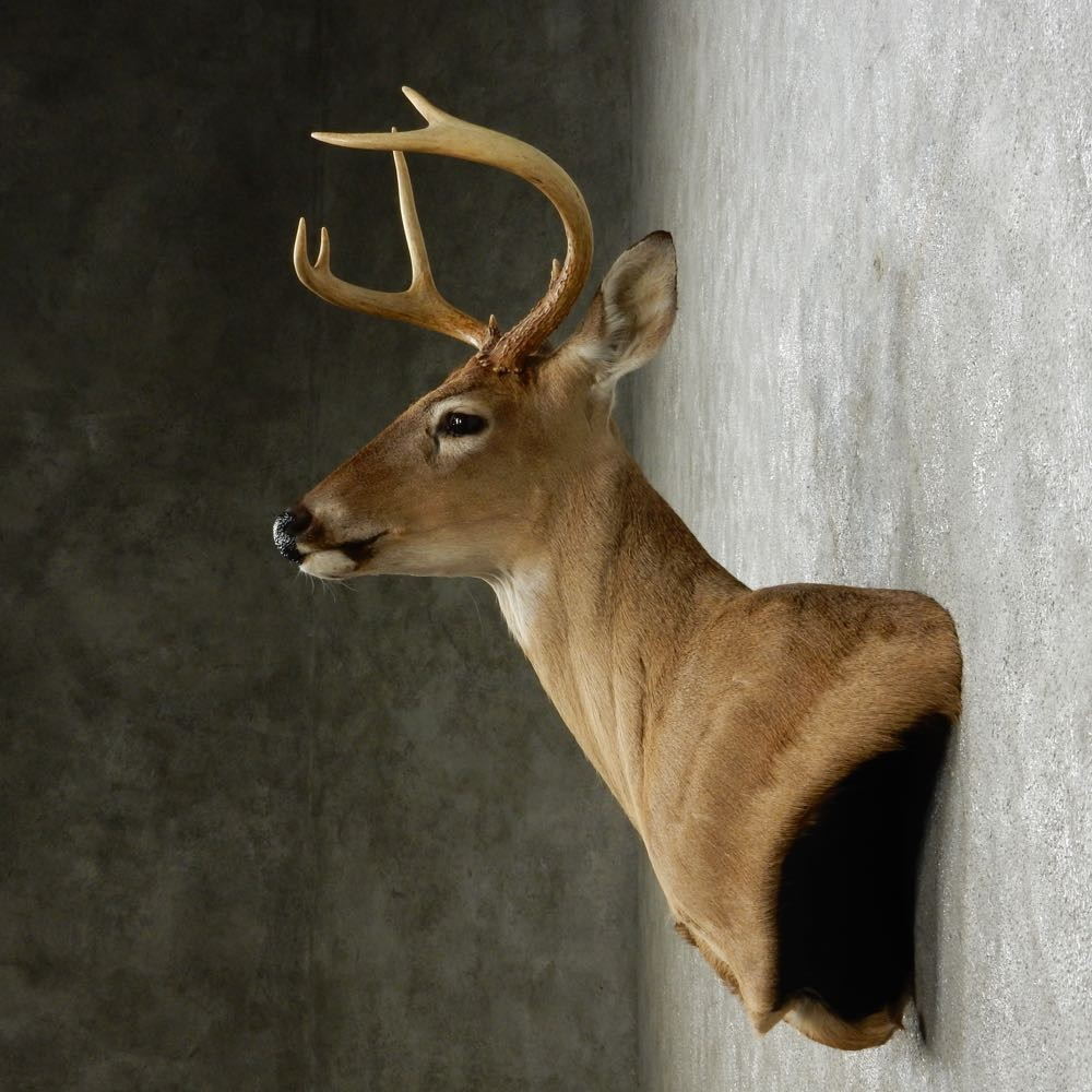 Whitetail Deer Wall Pedestal Mount For Sale 14086 The