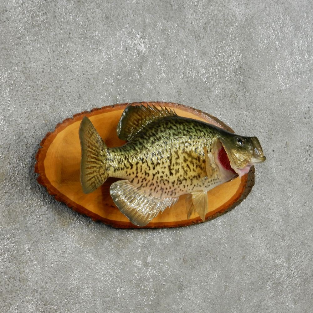 Crappie life size fish mount for sale 14092 the for Freshwater fish for sale