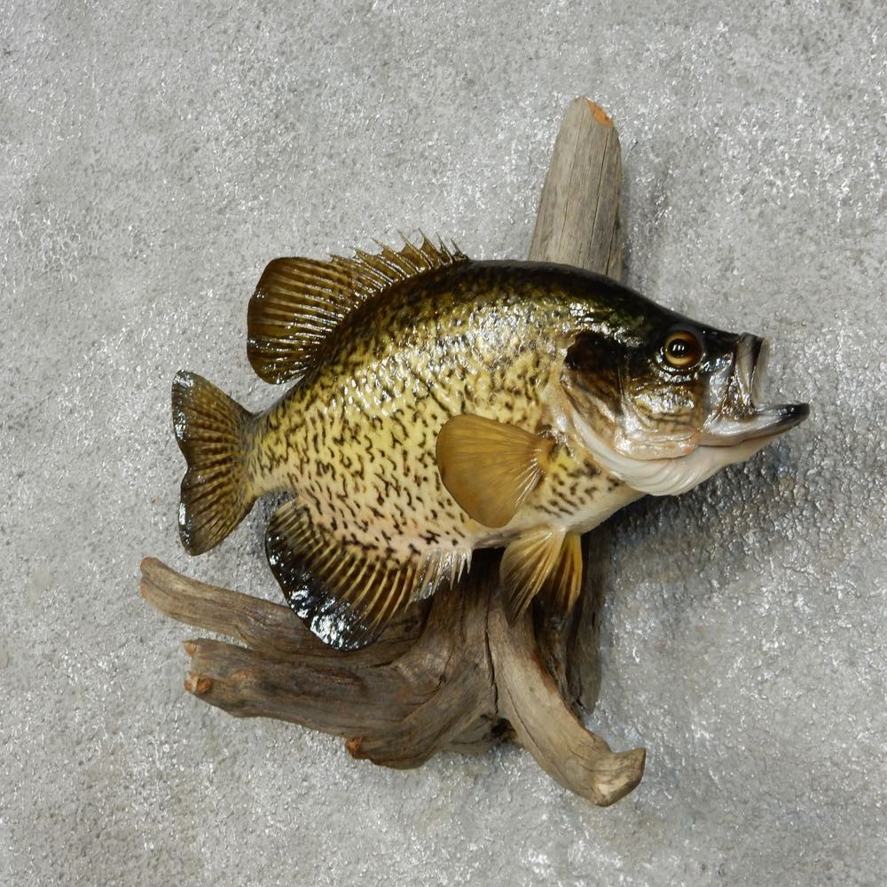 Crappie fish mount for sale 14101 the taxidermy store for Fish mounts for sale
