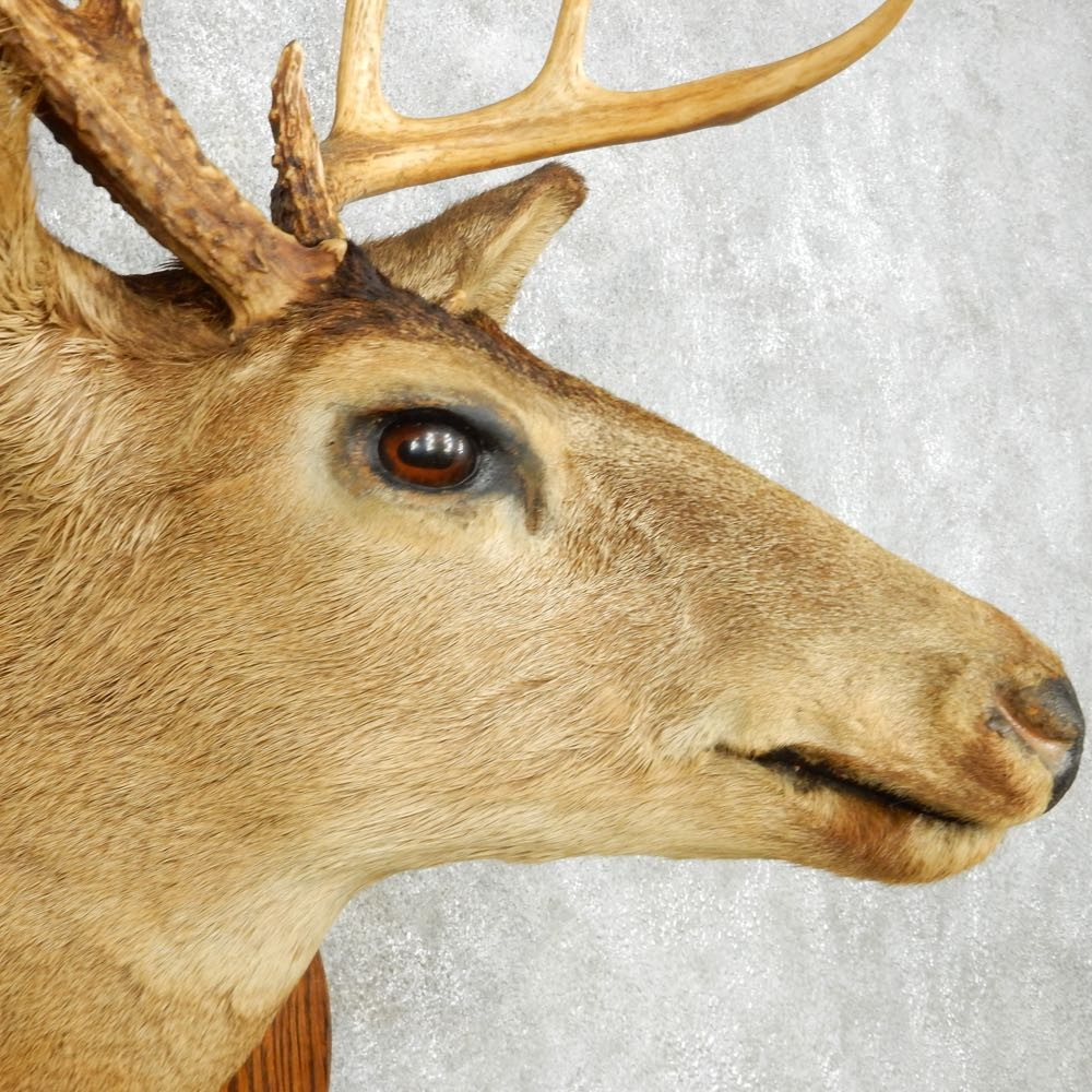 Whitetail Deer Shoulder Mount For Sale #14116 - The Taxidermy Store