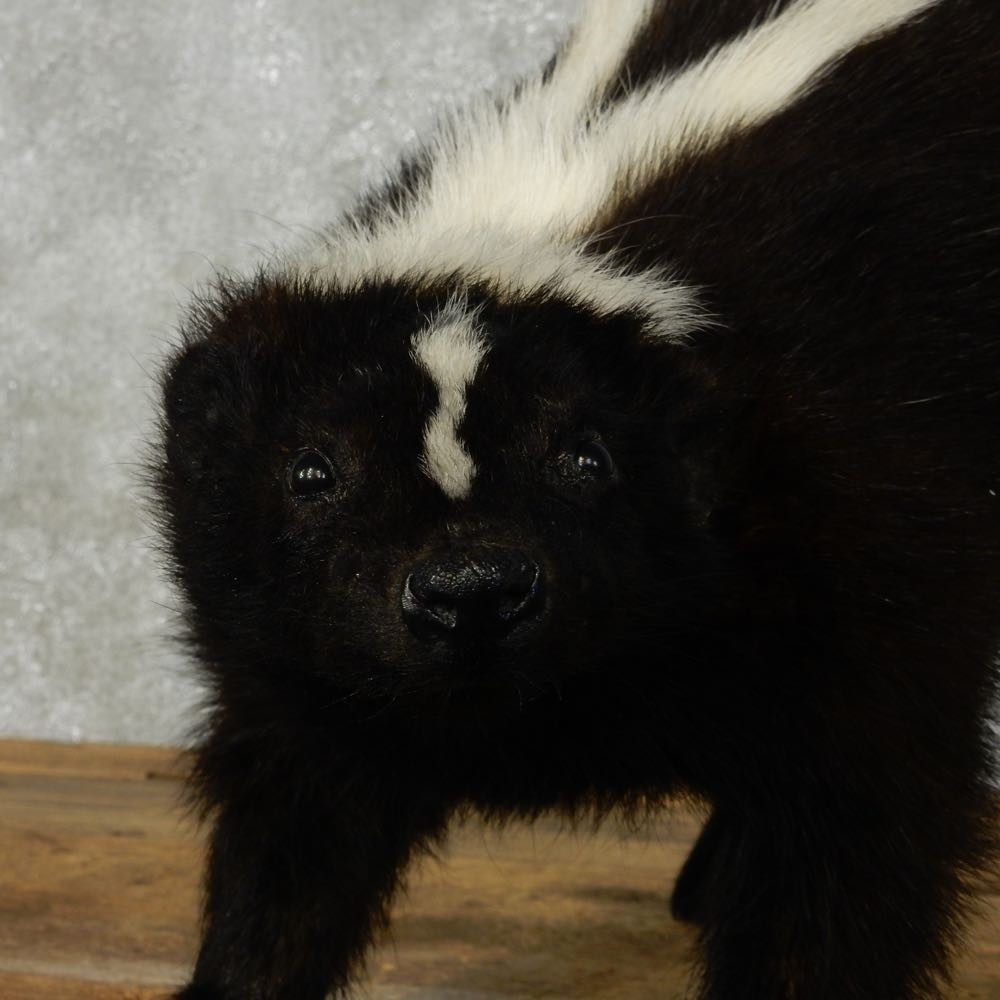 Standing Striped Skunk Mount For Sale #14201 - The Taxidermy Store