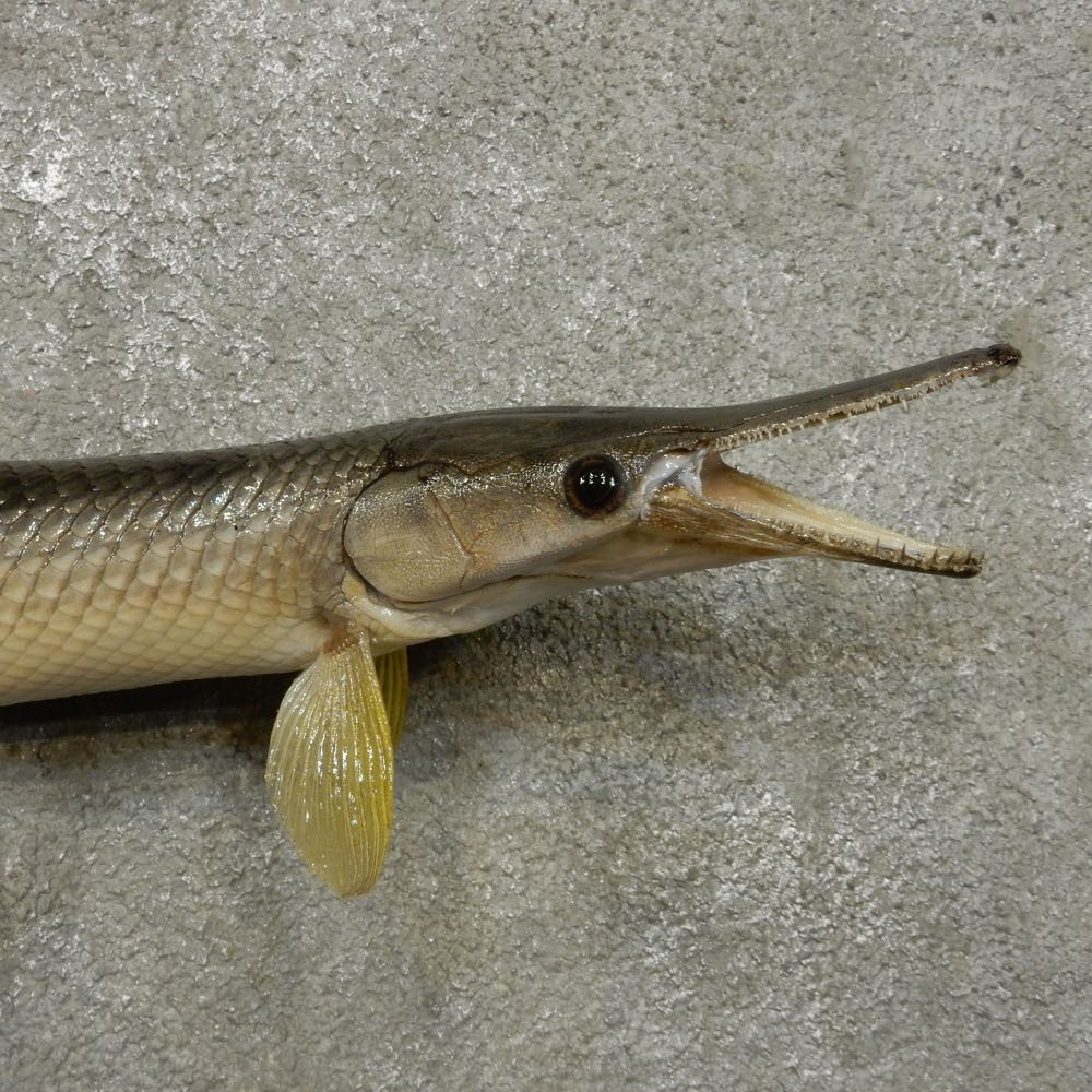 Picture Of A Gar Fish | Garfish Fish Mount For Sale 14307 The Taxidermy Store