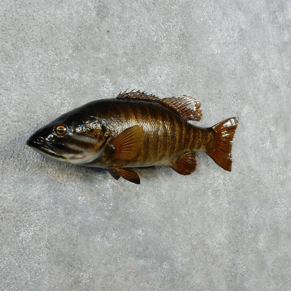Smallmouth bass fish mount for sale 14341 the taxidermy for Bass fish for sale