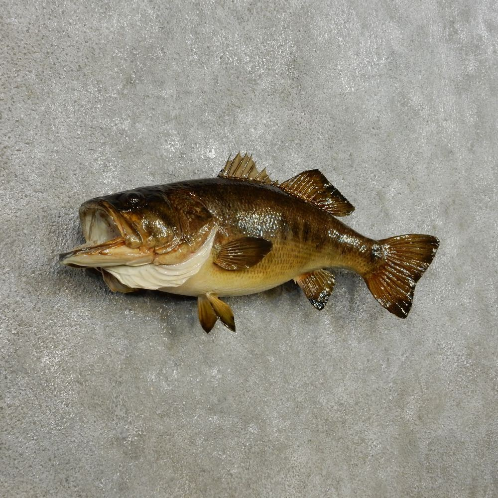 Largemouth bass fish mount 14356 the taxidermy store for Bass fish for sale