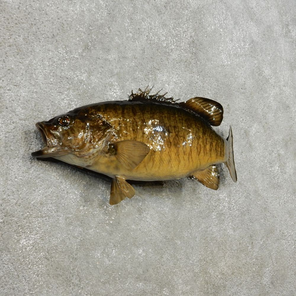 Smallmouth bass fish mount 14358 the taxidermy store for Bass fish for sale