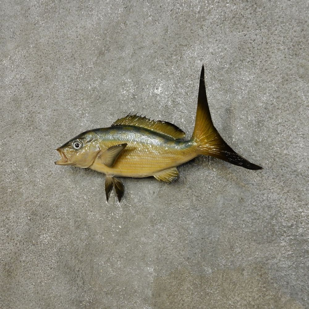 ocean fish mount for sale 14388 the taxidermy store