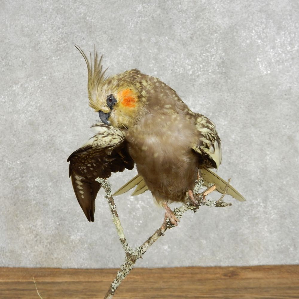 Perched Cockatiel Bird Mount For Sale #14397 - The ...