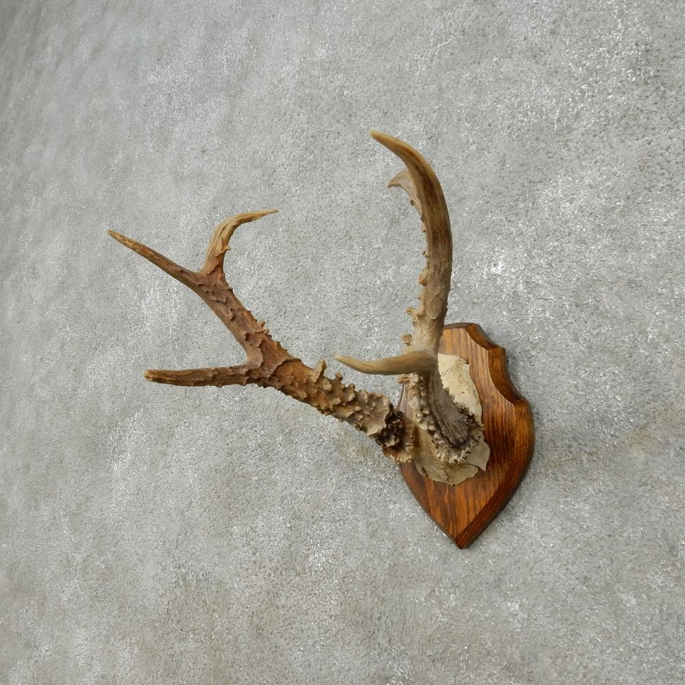 Siberian Roe Deer Antler Mount For Sale #14445 - The ...
