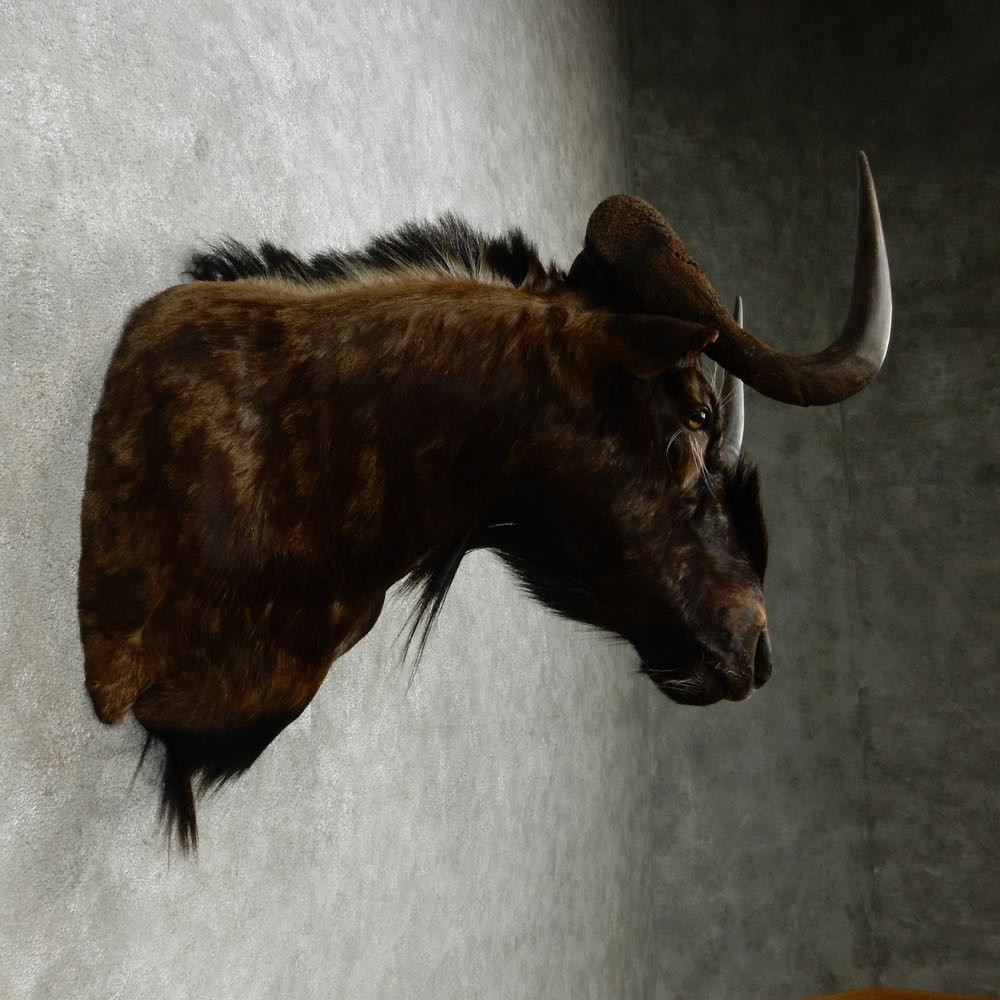 African Black Wildebeest Shoulder Mount For Sale #14586 ...
