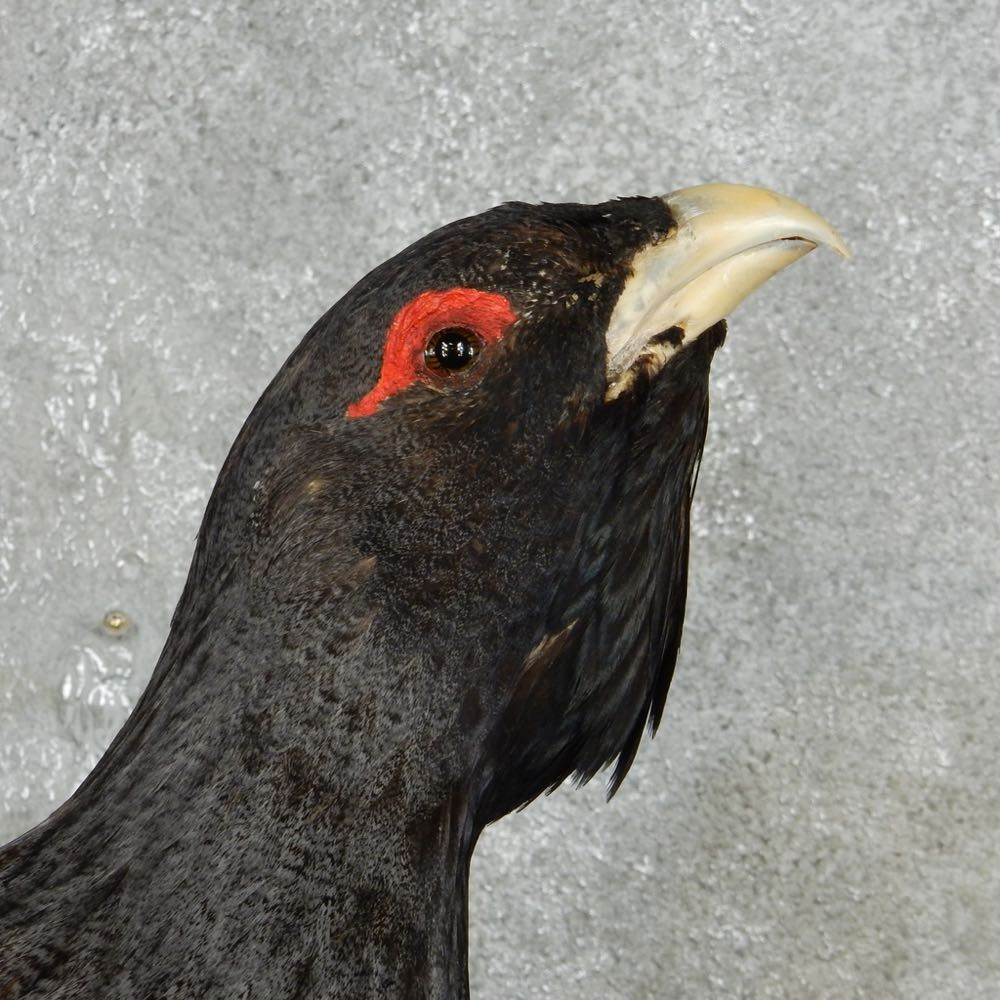 Capercaillie bird: photo with description where it lives, what it feeds on 29