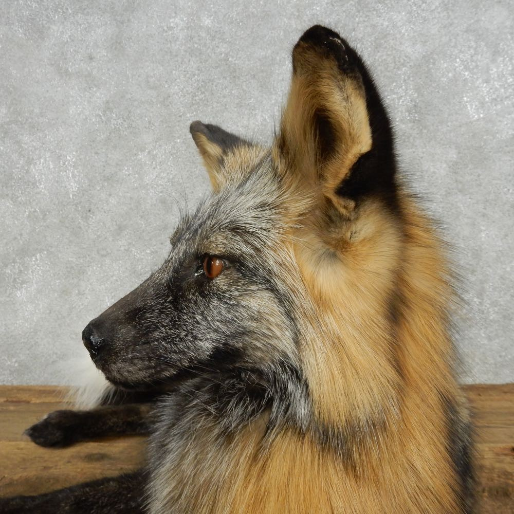 Laying Cross Fox Mount For Sale #14713 - The Taxidermy Store