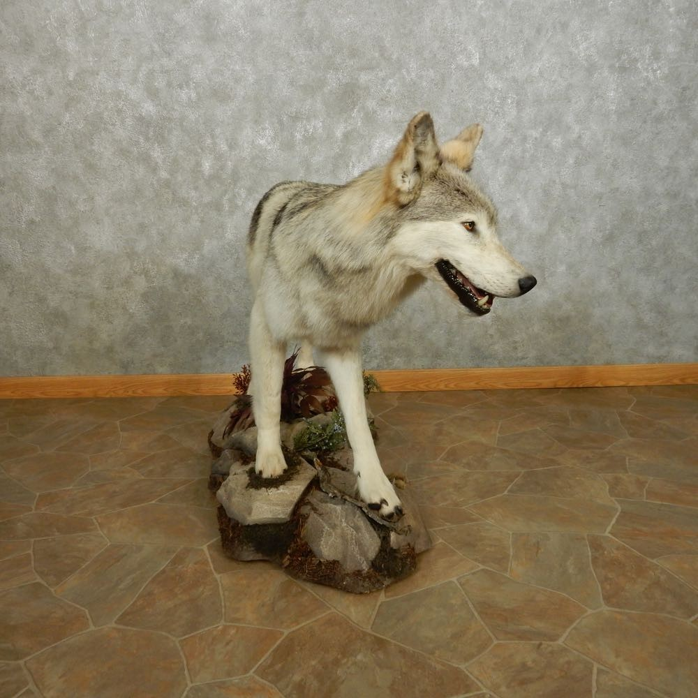 alaskan gray wolf life-size mount  14911 for sale