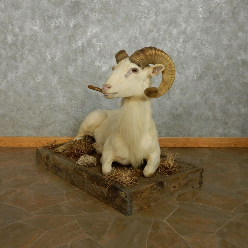 texas dall sheep shoulder mount for sale  15110