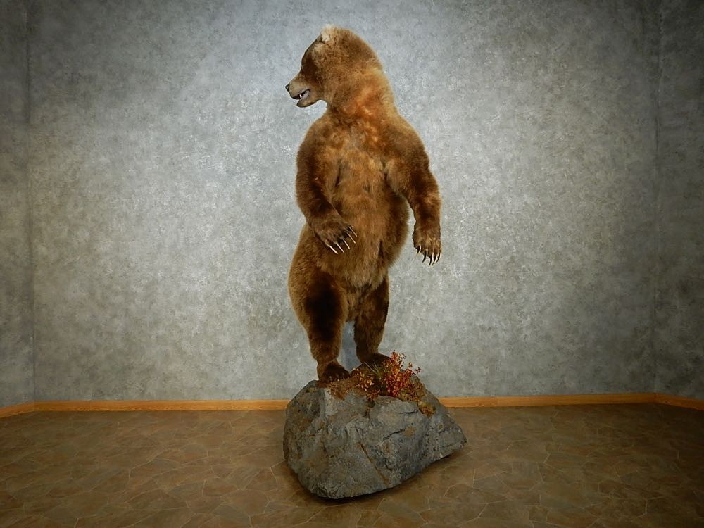Brown Bear Life Size Mount For Sale 15114 The Taxidermy