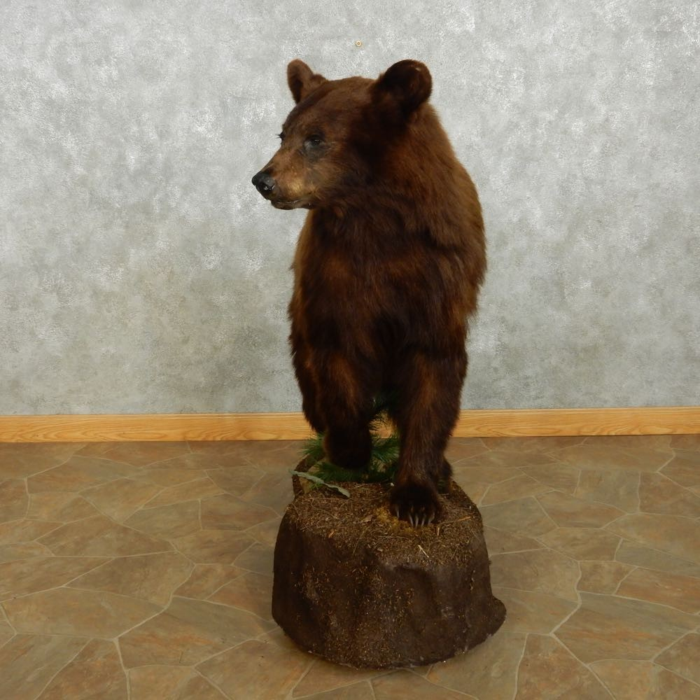 Cinnamon black bear mount