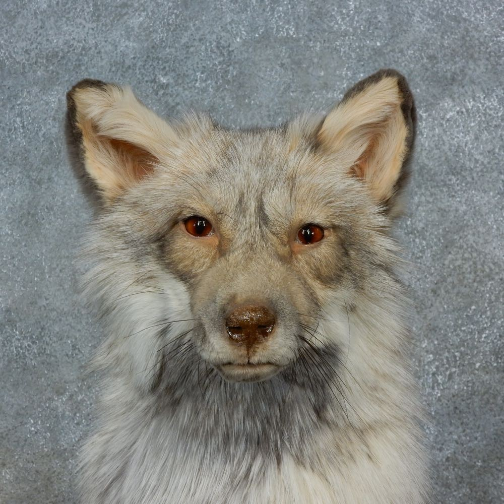 Pearl Cross Fox Mount For Sale #15417 - The Taxidermy Store