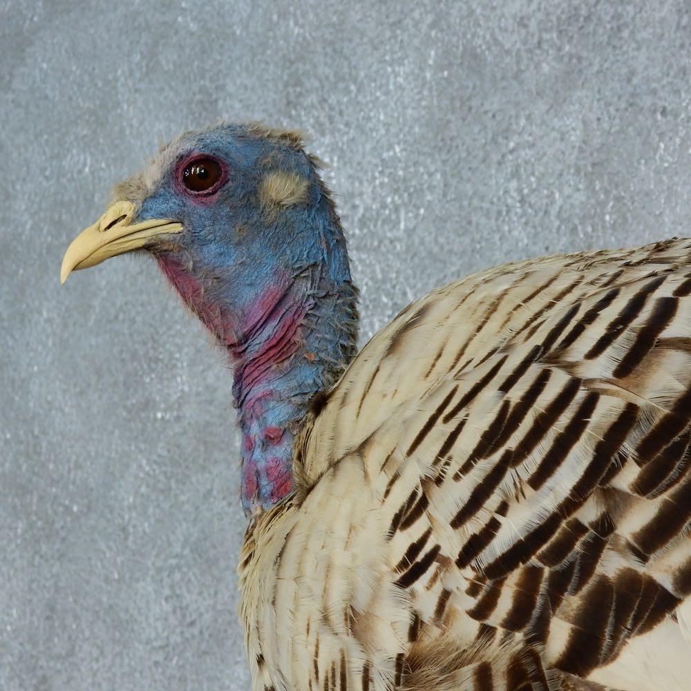 Wild turkey hen bird mount for sale 15868 the taxidermy store eastern turkey hen bird mount for sale 15434 the taxidermy store publicscrutiny Choice Image